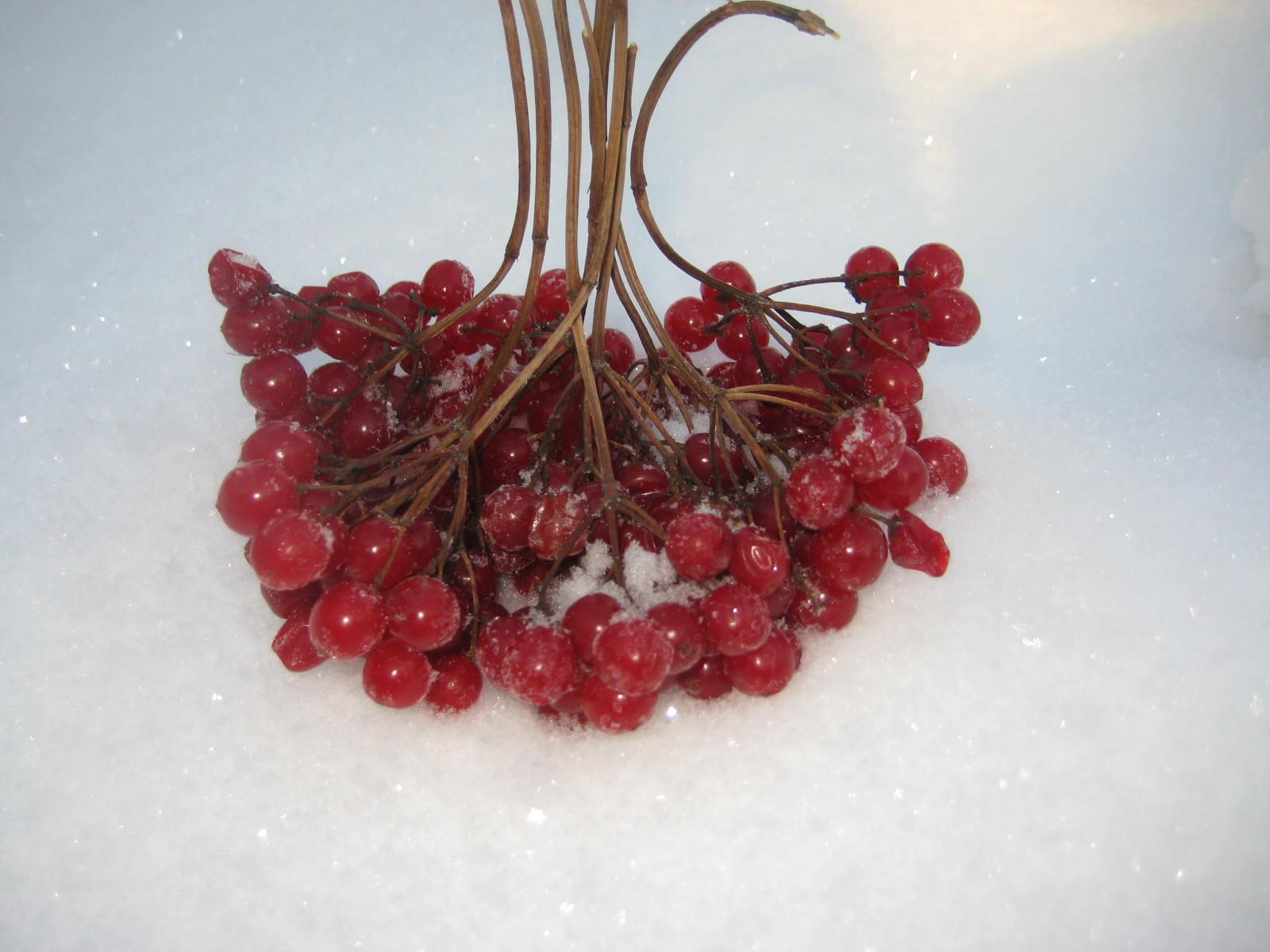 Калина ягода полезные свойства