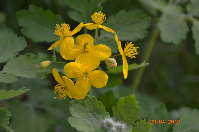 чистотел цветок