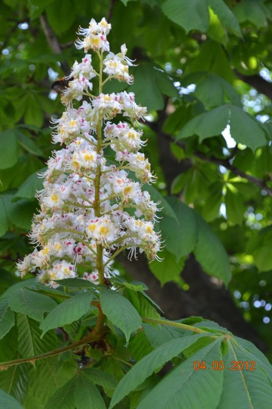 Цветы каштана конского в народной медицине