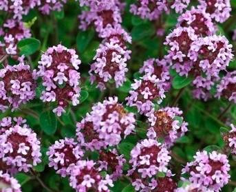 Цветы фото чабрец