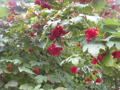 ягода калина применение