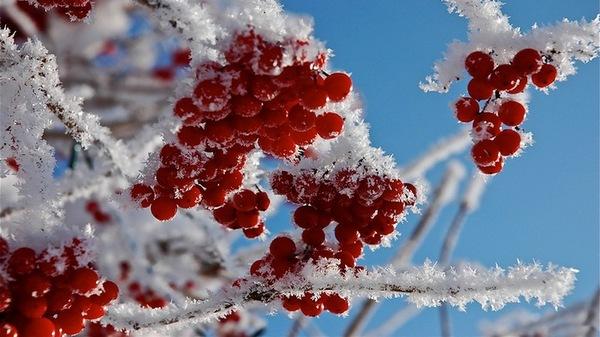 ягода калина лечебные свойства