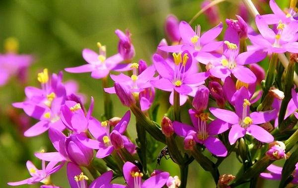 Трава золототысячник лечебные свойства и противопоказания