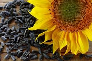 Польза и вред семян подсолнечника