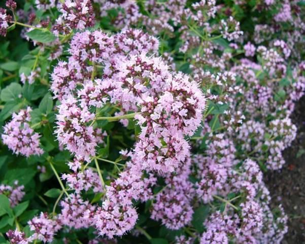 Трава душица лечебные свойства и противопоказания