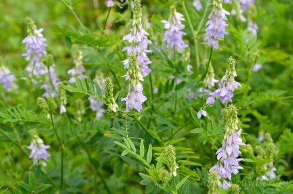Галега трава лечебные свойства и противопоказания