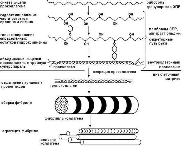 Биосинтез коллагена