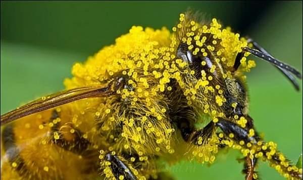 Пчелиная пыльца состав