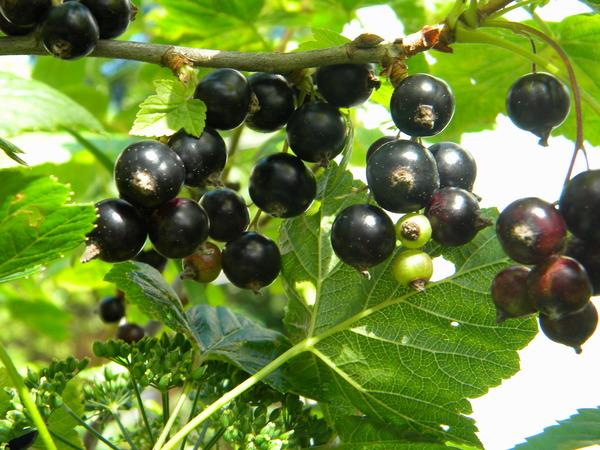 Черная смородина состав витаминов