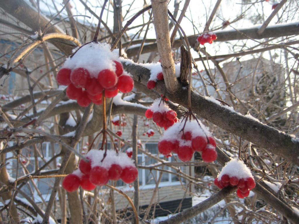 ягода калина красная полезные свойства