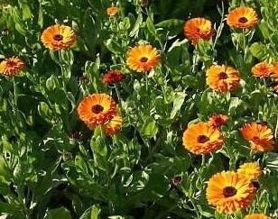 лекарственное растение календула