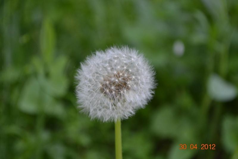 Лекарственное растение одуванчик