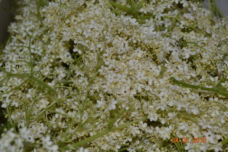 Полезные свойства и рецепт вкуснейшего меда из цветков бузины