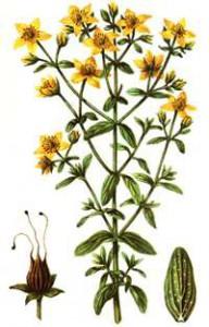 картинки растение зверобой