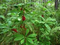 Волчья ягода