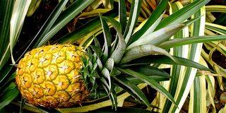 ананасы польза и вред