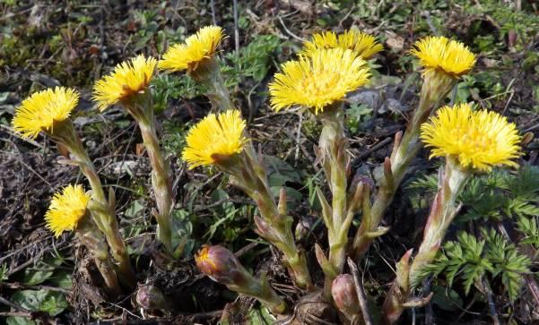 Трава мать мачеха лечебные свойства и противопоказания