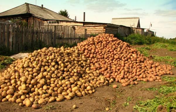 Польза сырого картофеля для желудка