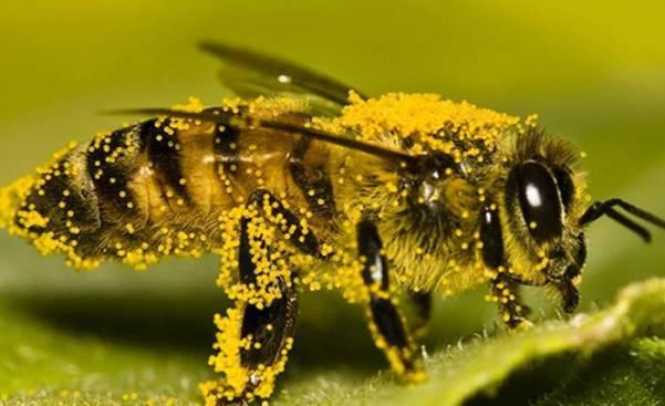 Перга пчелиная состав витаминов