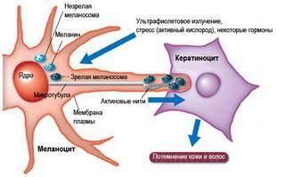 Как восстановить меланин в организме