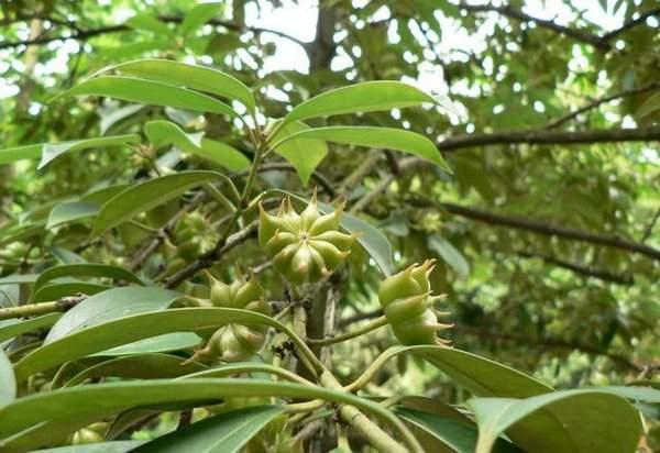 Бадьян описание растения