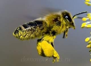 Пчелиная пыльца польза для здоровья