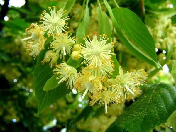 Польза цветков липы