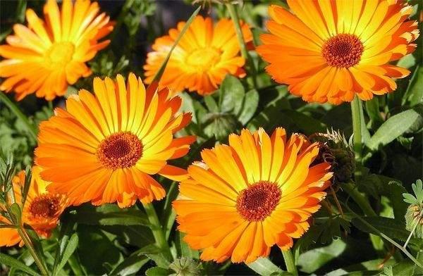Состав цветков календулы