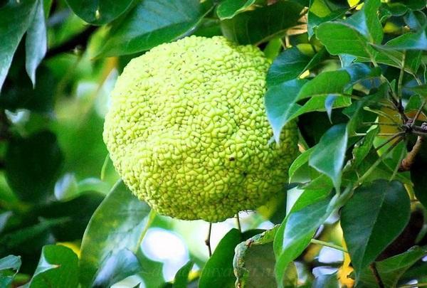 Адамово яблоко полезные свойства