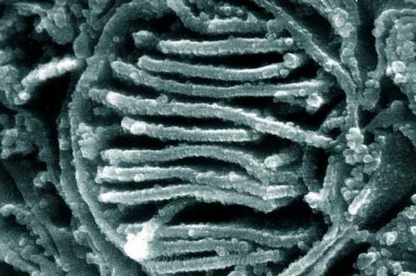 Зачем же нужны митохондрии в клетке