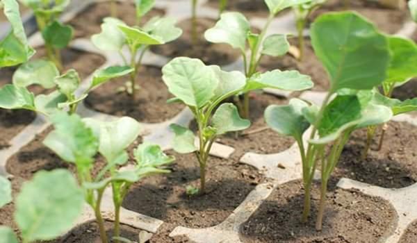 Когда нужно сажать капусту на рассаду