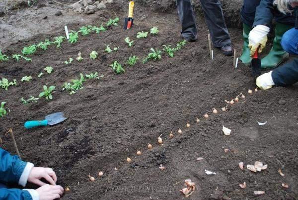 Посадка чеснока под зиму: как и когда сажать чеснок осенью