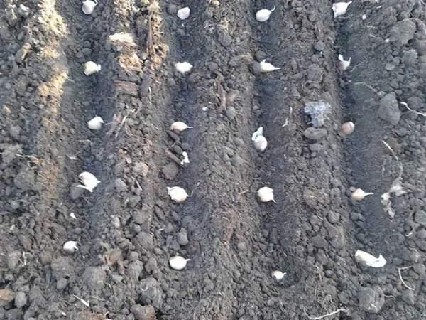 Когда сажать чеснок весной в открытый грунт