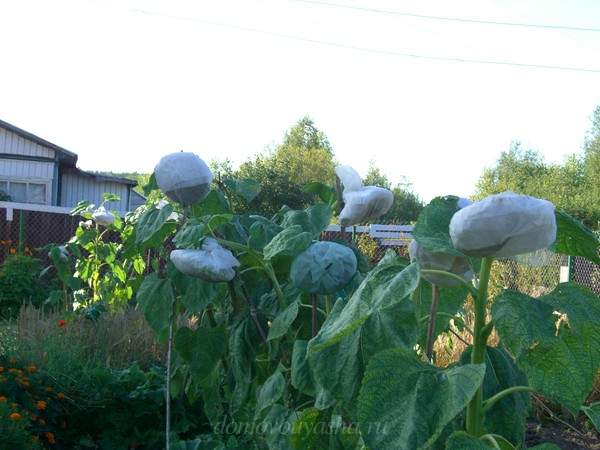 Когда сажать подсолнух в открытый грунт семенами