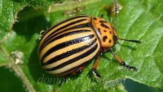 Самая эффективная отрава от колорадского жука