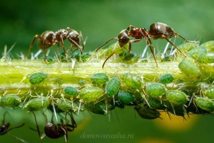 Как избавиться от муравьев на плодовых деревьях