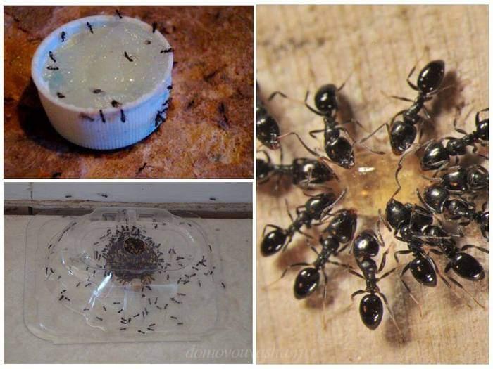 Как народными средствами справиться с муравьями
