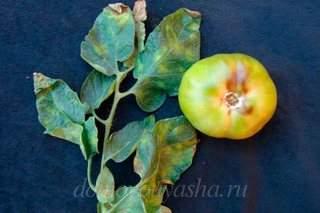 Бурая пятнистость на помидорах
