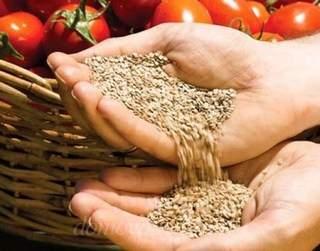 Как правильно собирать семена томатов