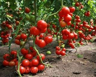 Как увеличить урожай помидоров в открытом грунте