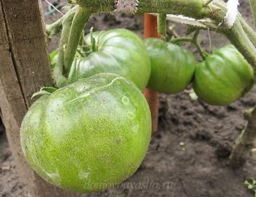 томат Черный принц зеленый помидор
