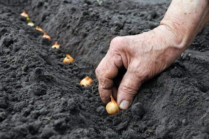 Когда сажать лук севок под зиму