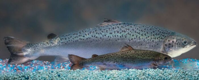 Чем полезен лосось и как его вкусно приготовить
