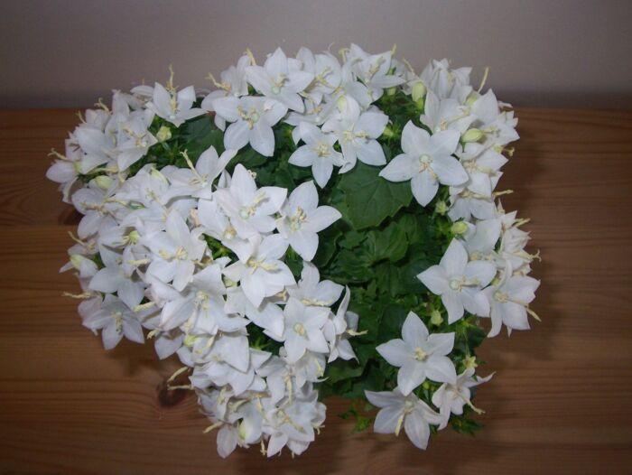Комнатные цветы цветущие белыми цветами