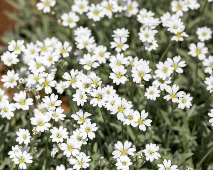 Многолетники цветущие белыми цветами