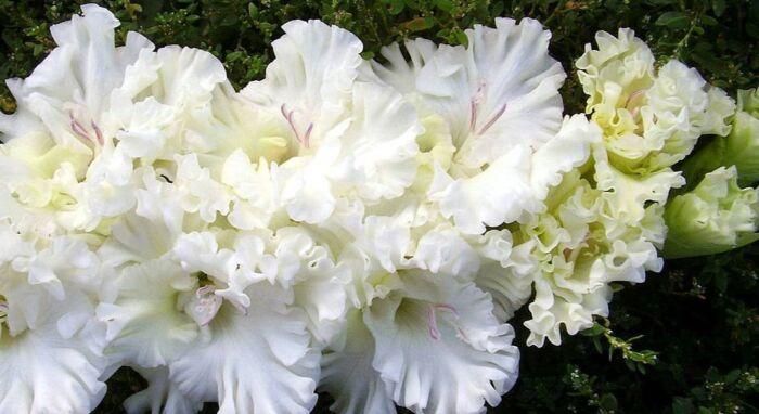 Многолетники цветущие белым цветом