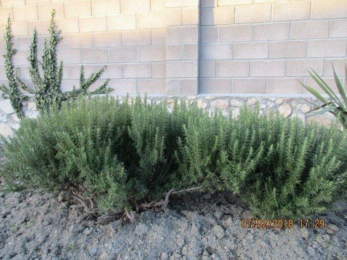 Розмарин — выращивание в квартире