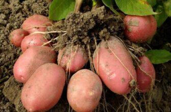 Самые вкусные сорта картофеля