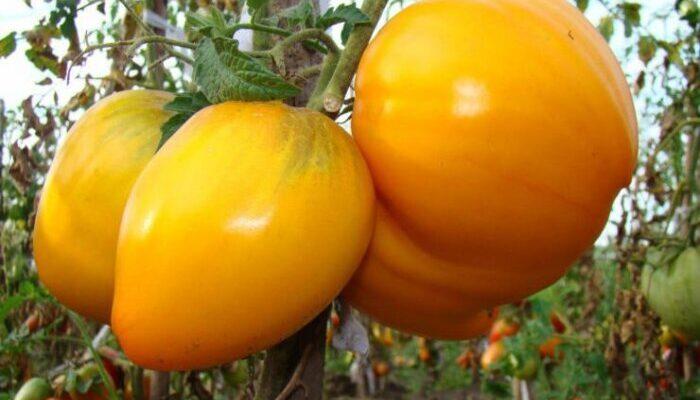 5 самых урожайных сортов томата