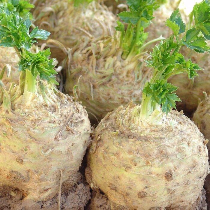 Корневой сельдерей как правильно посеять и вырастить рассаду